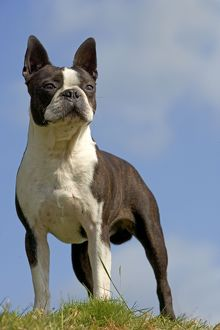 <b>Boston Terrier</b><br>Selection of 192 items