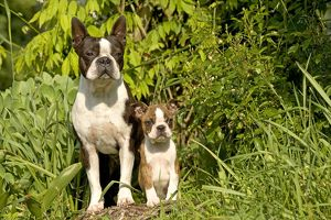 Dog - Boston Terrier, adult and puppy