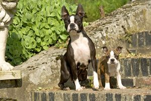 Dog - Boston Terrier adult and puppy, on steps