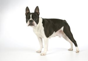 Dog - Boston Terrier, bitch standing, side view