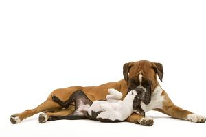 Dog - Boston Terrier and Boxer playing in studio