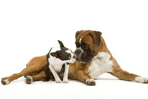 Dog - Boston Terrier and Boxer sniffing each other in studio