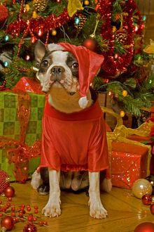 Dog - Boston Terrier with Christmas decorations