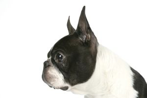 Dog - Boston Terrier. Close-up of head, side view