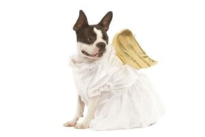 Dog - Boston Terrier dressed up in angel outfit