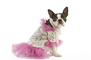 Dog - Boston Terrier dressed up in pink dress