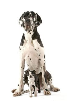 Dog - Boston Terrier - with Great Dane