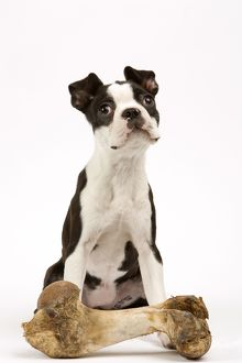 DOG - Boston Terrier with large bone