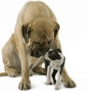 Dog - Boston Terrier - with Mastiff Dog