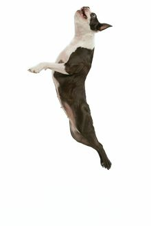 Dog - Boston terrier in mid-air - jumping