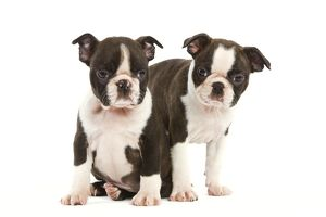 Dog - Two Boston Terrier puppies in studio