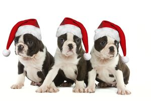 Dog - Three Boston Terrier puppies in studio wearing Christmas hats