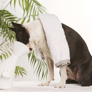 Dog - Boston Terrier - receiving steam therapy 'pet pampering'