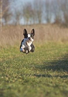 Dog - Boston Terrier - running, in mid-air