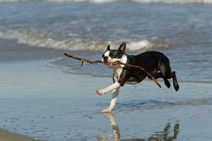 Dog - Boston Terrier running in sea with stick