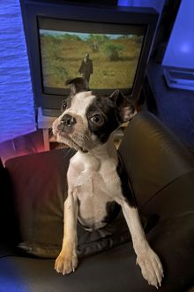 Dog - Boston Terrier standing on chair with television behind