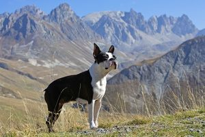 Dog - Boston Terrier standing in mountain scenery