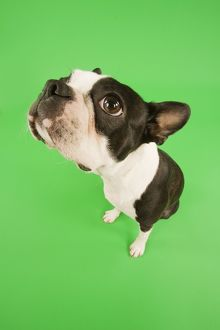 Dog - Boston Terrier in studio with green background, fish-eye lense