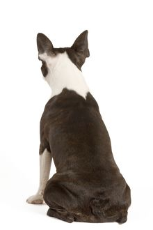 Dog - Boston Terrier - back view