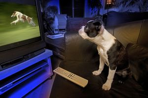 Dog - Boston Terrier watching dogs on television