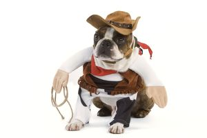 Dog - Boston Terrier wearing cowboy outfit