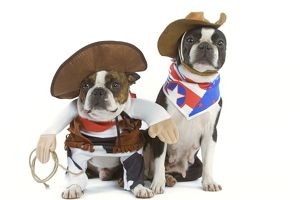 Dog - Boston Terrier wearing cowboy outfits
