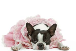 Dog - Boston Terrier wearing pink dress
