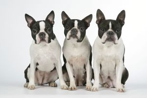 Dog - Boston Terriers. 3 Sitting together