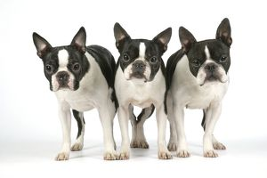Dog - Boston Terriers. 3 Standing together