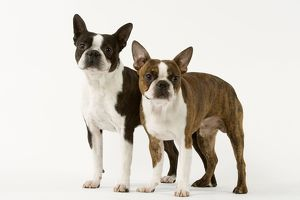 Dog - Boston Terriers - Two together