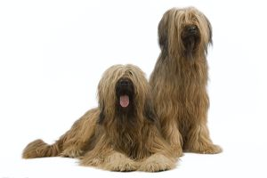 Dog - Briard / Berger de Brie - two