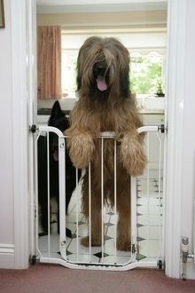 DOG - Briard dog behind baby gate, looking over