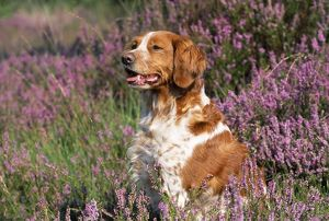 DOG - Brittany in heather
