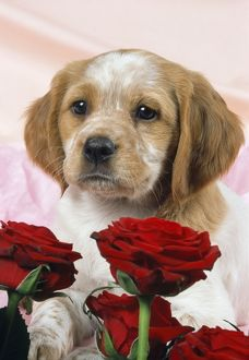 DOG - Brittany puppy with valentine red roses