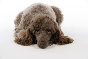 <b>Poodle (Miniature)</b><br>Selection of 141 items