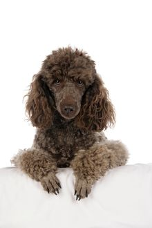 DOG. Brown miniature poodle with paws over ledge