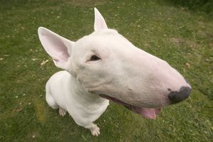 Dog - Bull Terrier, close-up of face