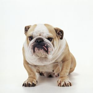 DOG - Bulldog facing