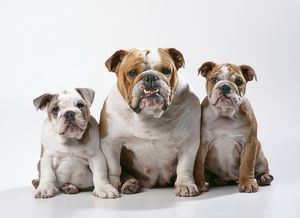 DOG - Bulldog, female with two puppies, sitting, studio shot