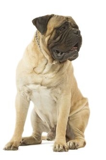 Dog - Bullmastiff sitting in studio