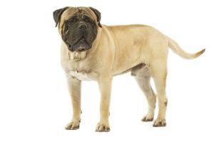 Dog - Bullmastiff standing in studio