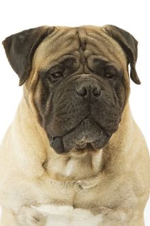 Dog - Bullmastiff in studio