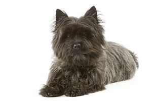 Dog - Cairn Terrier - lying down