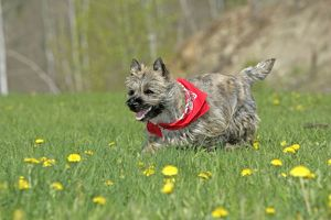 Dog - Cairn Terrier puppy - in meadow