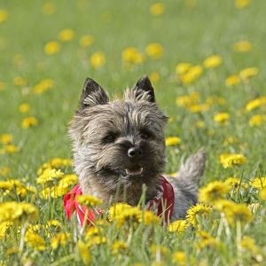Dog - Cairn Terrier puppy standing in meadow of flowers