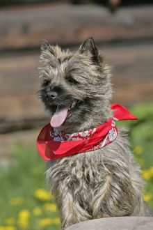 Dog - Cairn Terrier puppy standing on rock, portrait