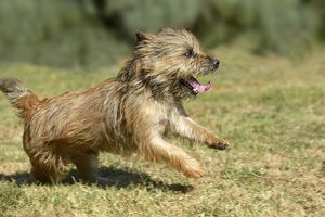 Dog - Cairn Terrier, running