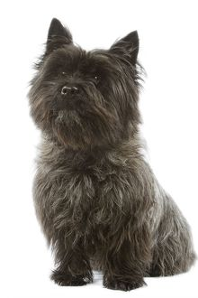 Dog - Cairn Terrier - sitting