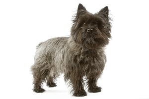 Dog - Cairn Terrier - standing