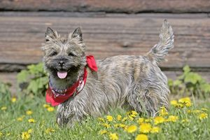 Dog - Cairn Terrier standing in grass with scarf round neck